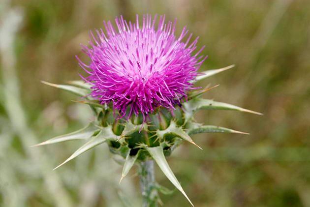 Ostropest Kwiat