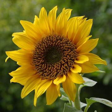 Ekologiczny olej słonecznikowy